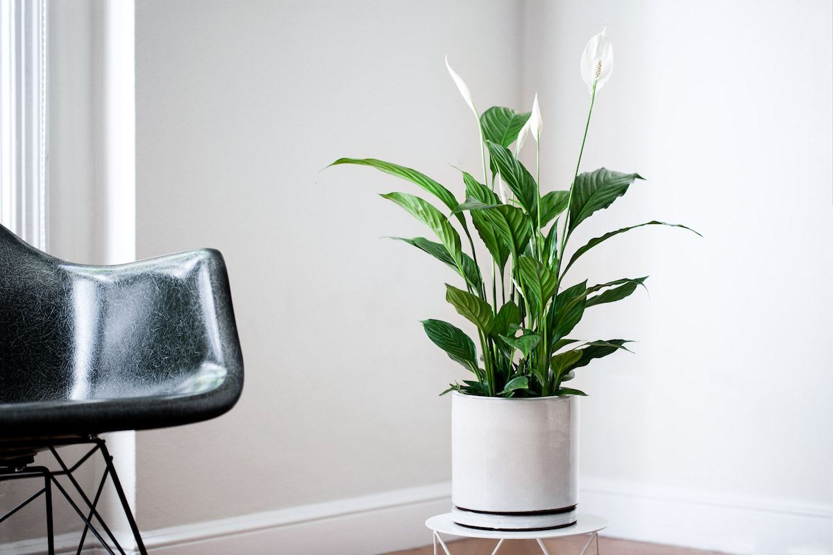 The Peace Lily is one of the best plants for the bedroom.