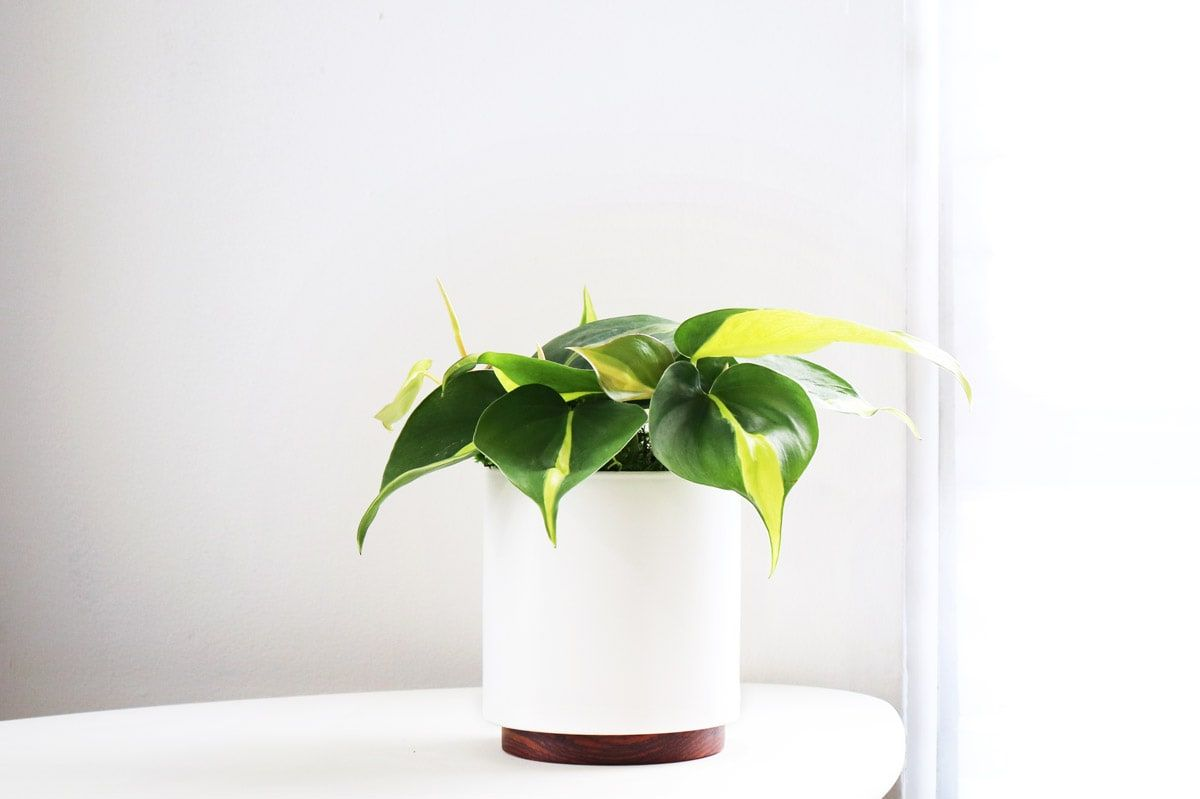 Philodendron Brasil - An easy care plant perfect for beginners, the Philodendron Brasil is named after its colorful foliage resembling the Brazilian flag.