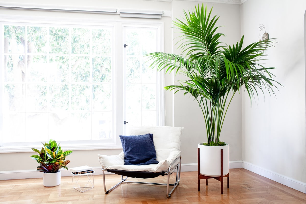 Kentia Palm - A majestic indoor plant with tropical island vibes.