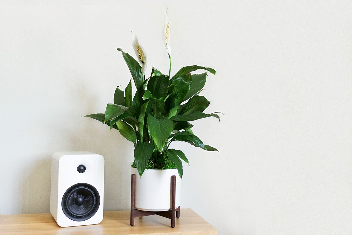 PEACE LILY - A leafy and lush tabletop plant with beautiful white flowers.