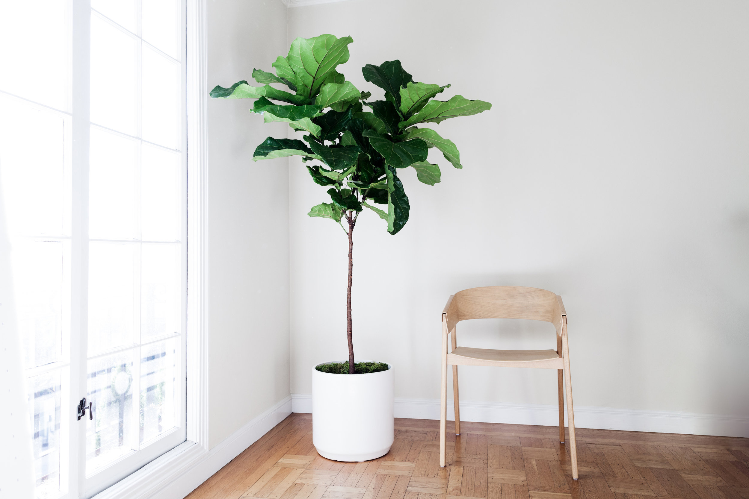 See our best-selling Fiddle Leaf Fig Tree on display at West Elm.