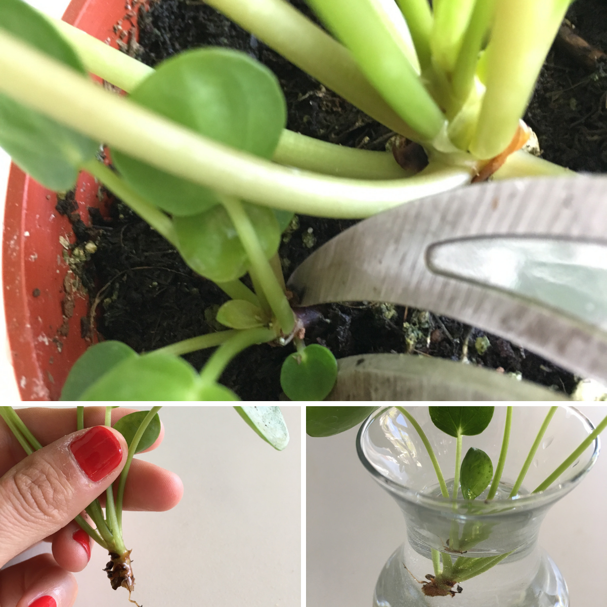 How to propagate the Pilea or Chinese Money Plant with cuttings.