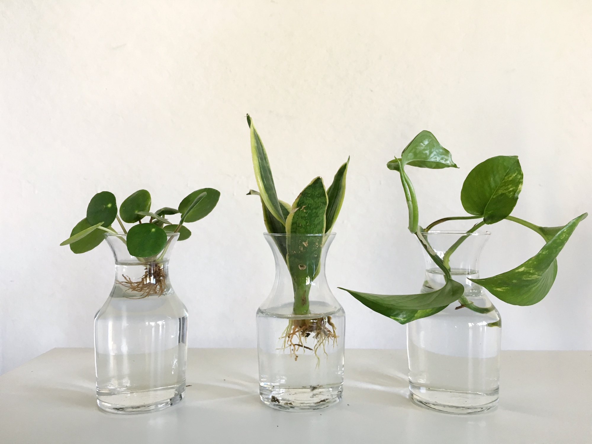 How to propagate plants, including pothos, snake plant, and pilea