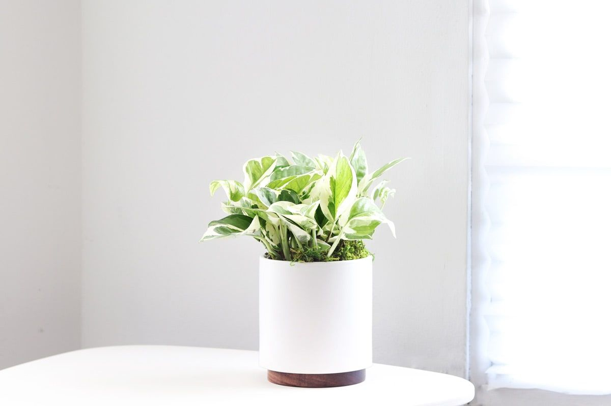 N'JOY POTHOS - Easy breezy with mint and cream colored leaves.