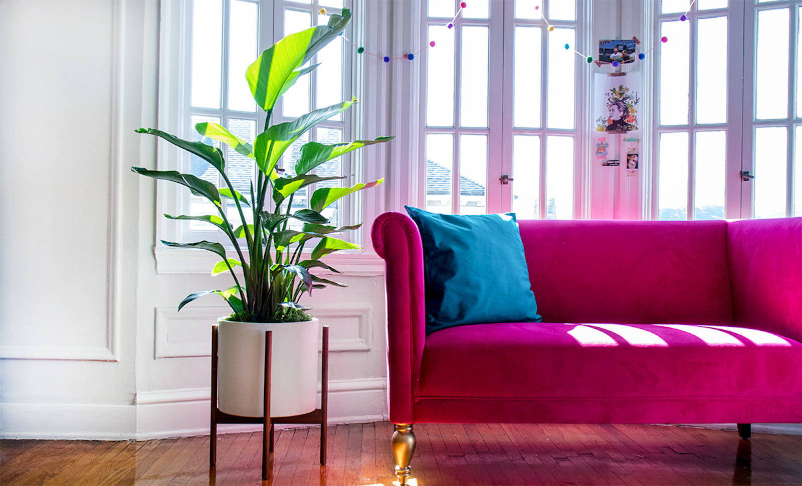 The  Bird of Paradise  does not mind plenty of direct sunlight, but this is not the case for most indoor plants!