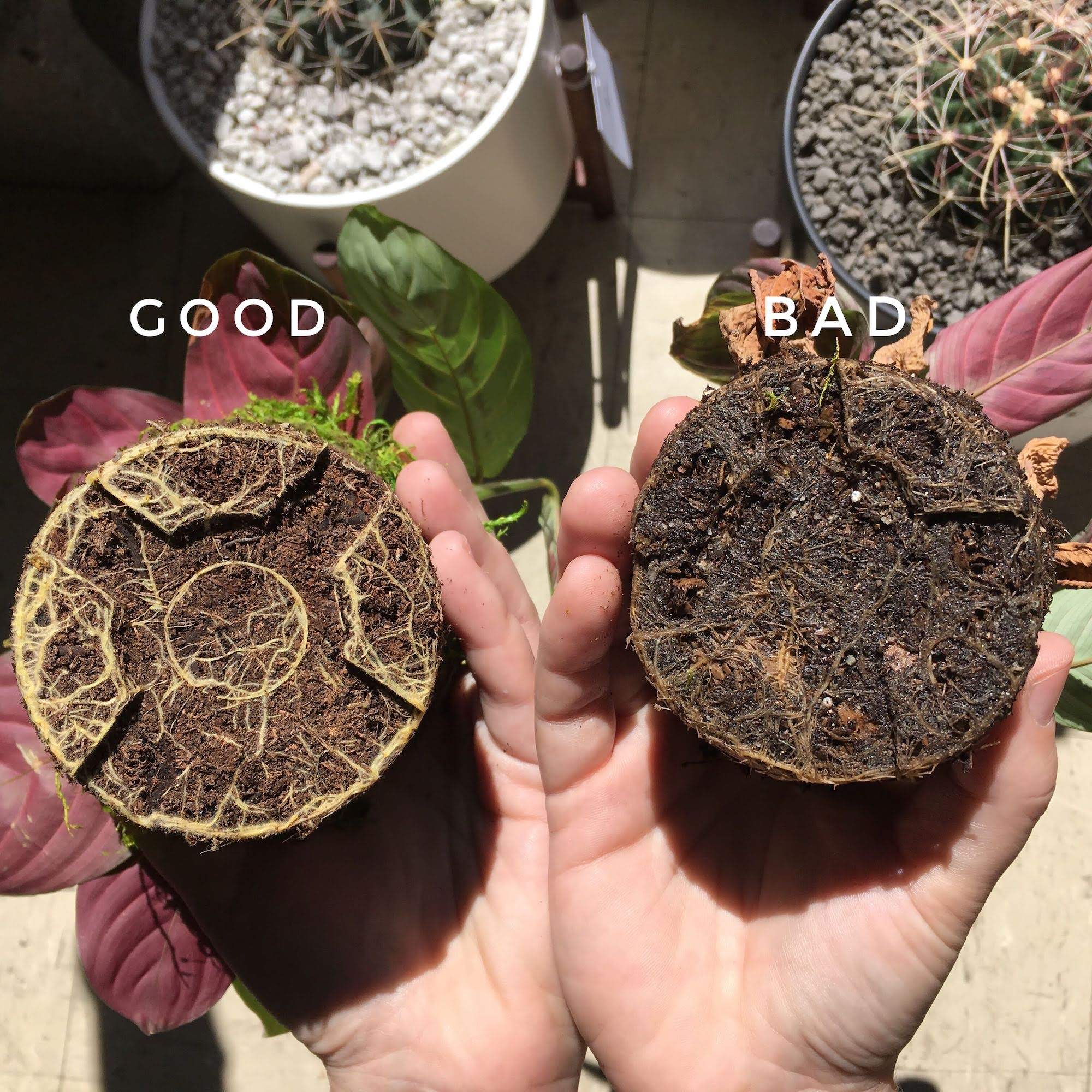 How to fix root rot indoor plants