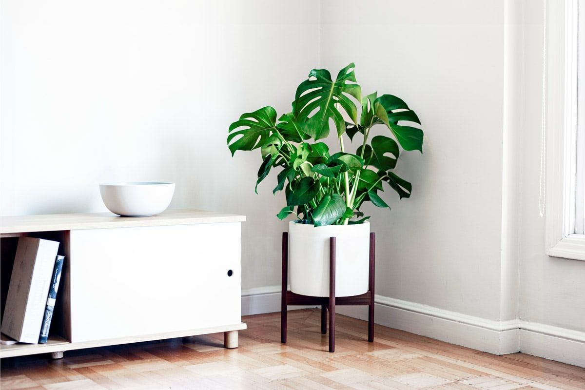 MONSTERA DELICIOSA - Iconic of the art deco era, the Monstera Deliciosa is a stylish plant with a lot of personality.