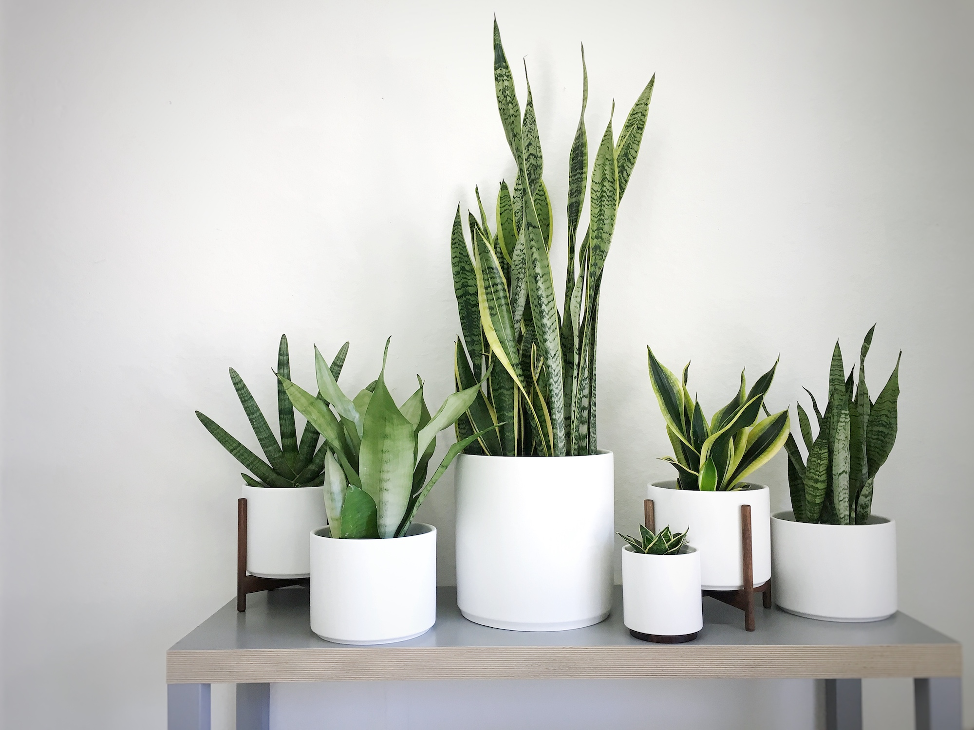 The many varieties of snake plants (and all their benefits!).