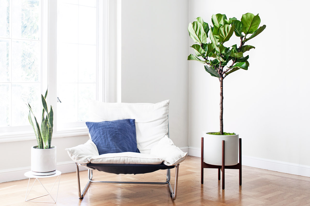 JUNIOR FIDDLE LEAF FIG TREE - A lush and sculptural plant with elegant violin-shaped leaves, the Junior Fiddle Leaf Fig Tree makes for a dramatic addition to any indoor space – truly a must-have for all who appreciate style and greenery.3-4ft tall plant with ceramic pot and reclaimed wood stand: $299