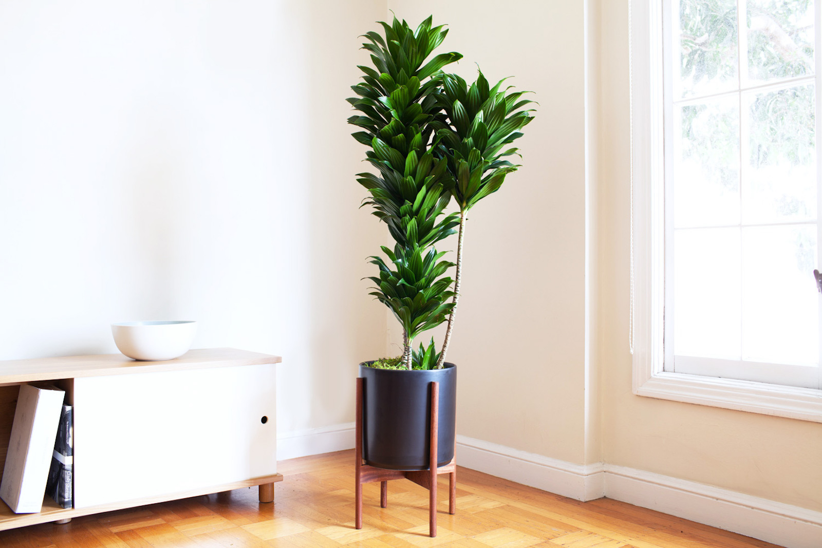 The Dracena Compacta is a beautiful plant for the office as it inspires creativity and cleans the air.