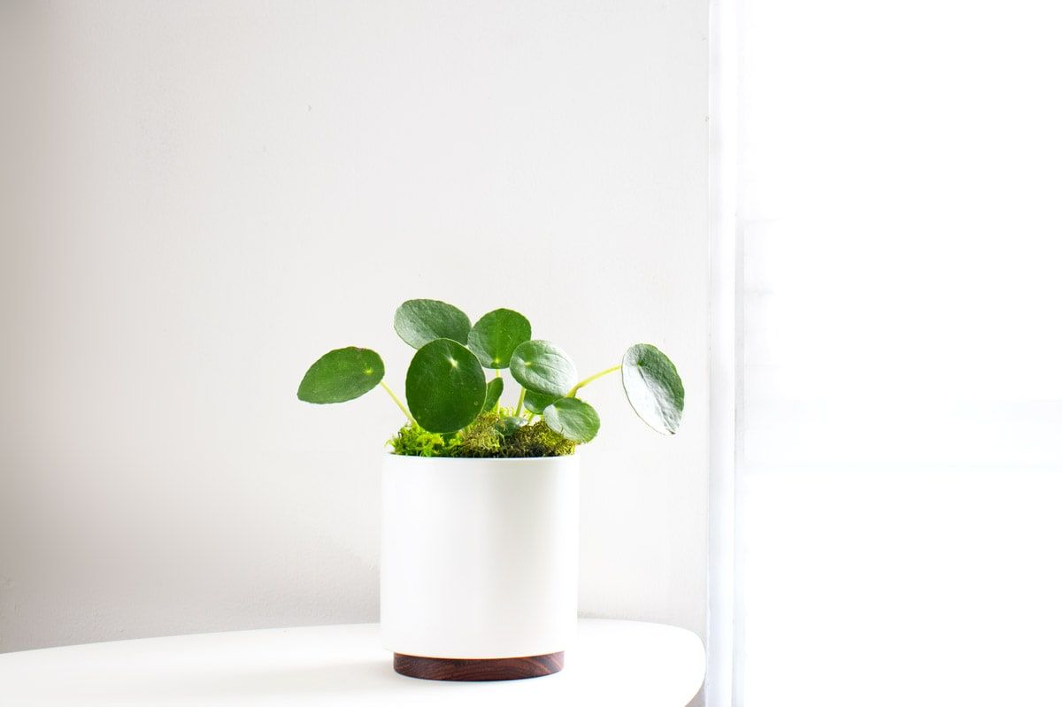 The Pilea or Chinese Money Plant is the perfect office plant that inspires creativity.