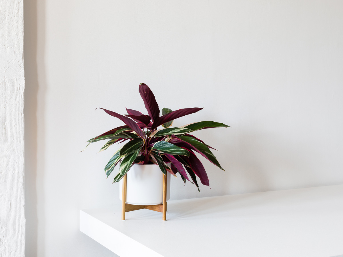 The beautiful Magenta Triostar inspires creativity with its painted leaves.