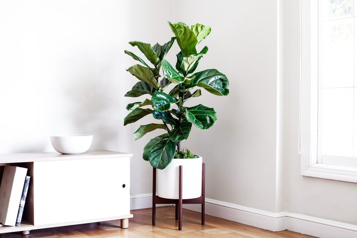 Indoor plants, potted & delivered. - Premium plants paired with stylish ceramic pots. Order online at leonandgeorge.com