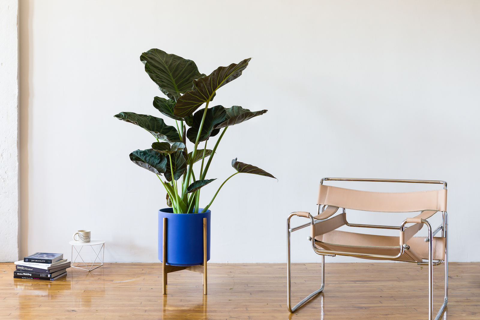 A brightly colored ceramic adds a bold splash of color to any style and brings out the foliage of plants like the  Elephant Ear .