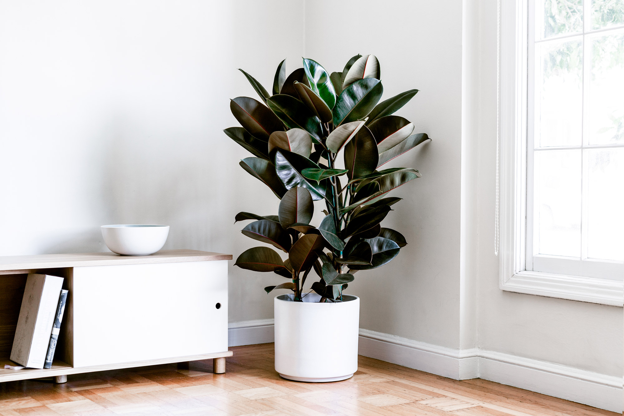 RUBBER TREE - A unique indoor plant option with dark leaves and crimson colored casings. Easy care and air-purifying.