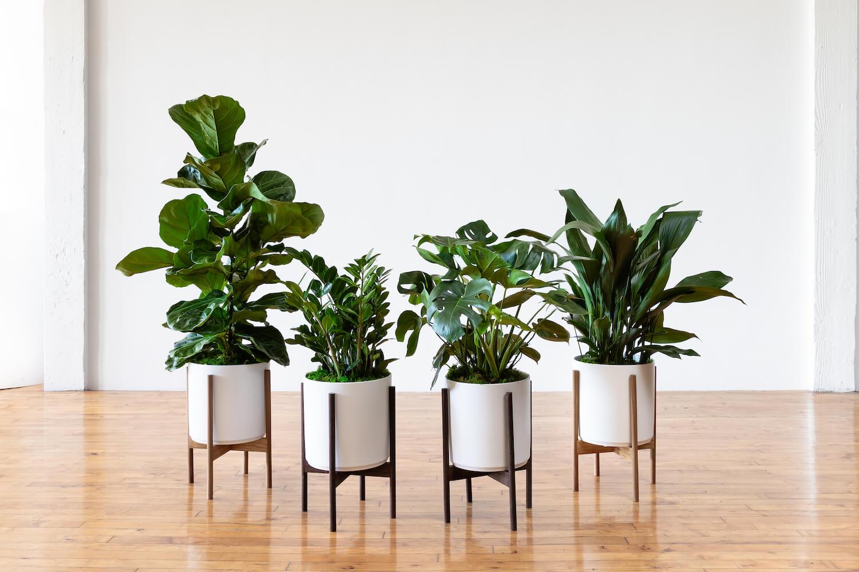 Large indoor plants online: order online and we'll deliver!