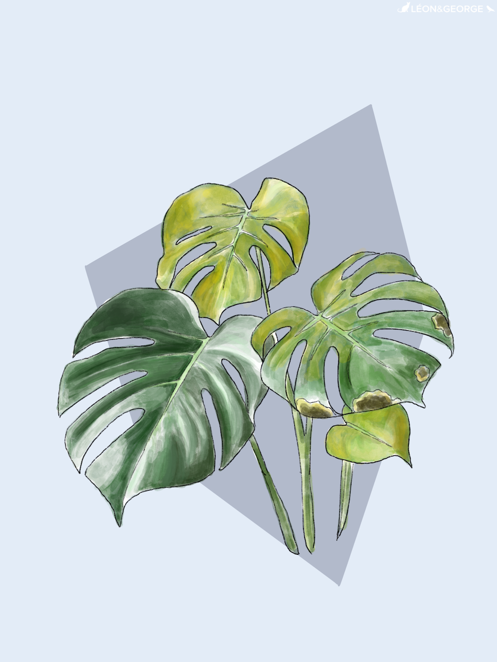 Monstera yellow leaves