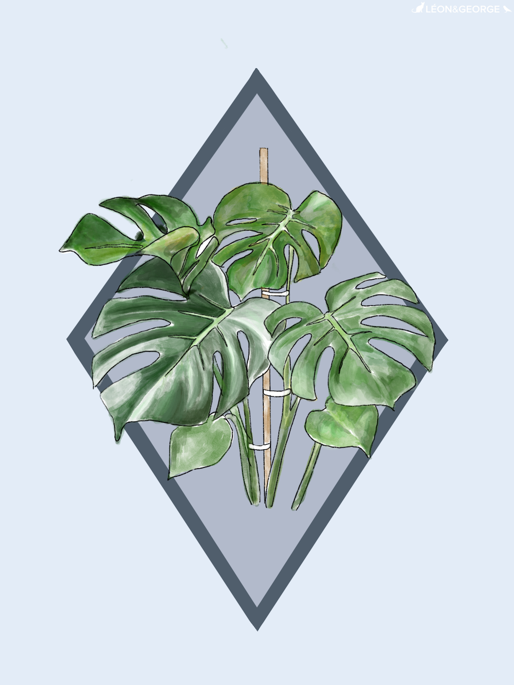 How to stake a monstera