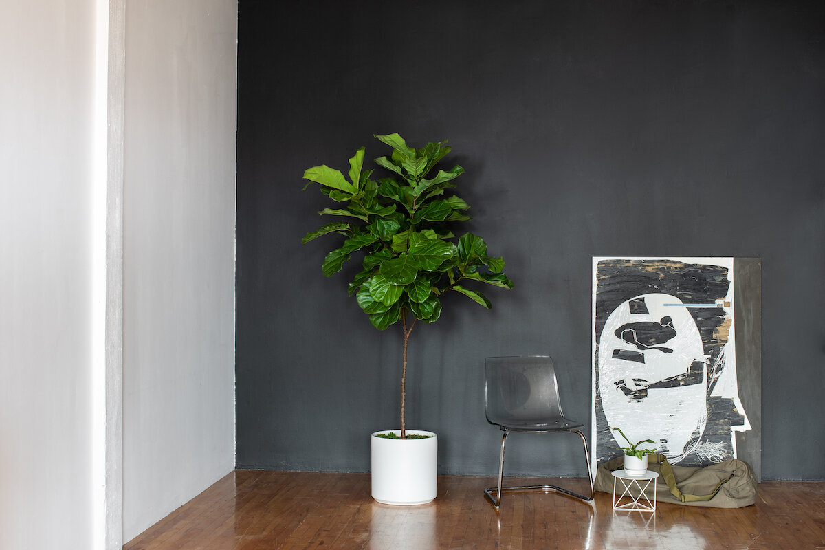Fall interior design trends in 2019: it's all about the black! Pictured here the gorgeous  Fiddle Leaf Fig Tree  in a matte white cylinder ceramic.