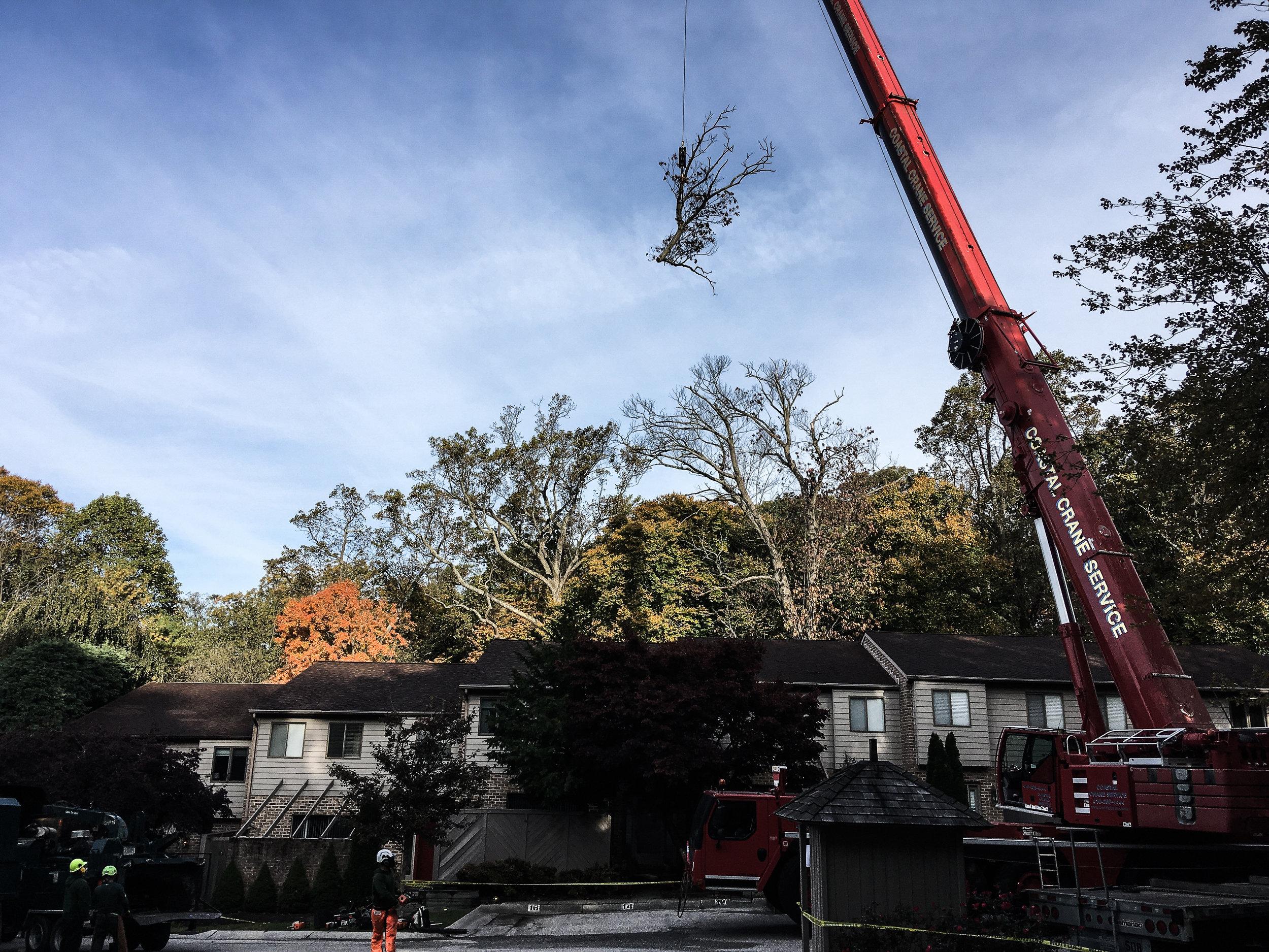 45 ft oak removal 3 (towson)-1.jpg