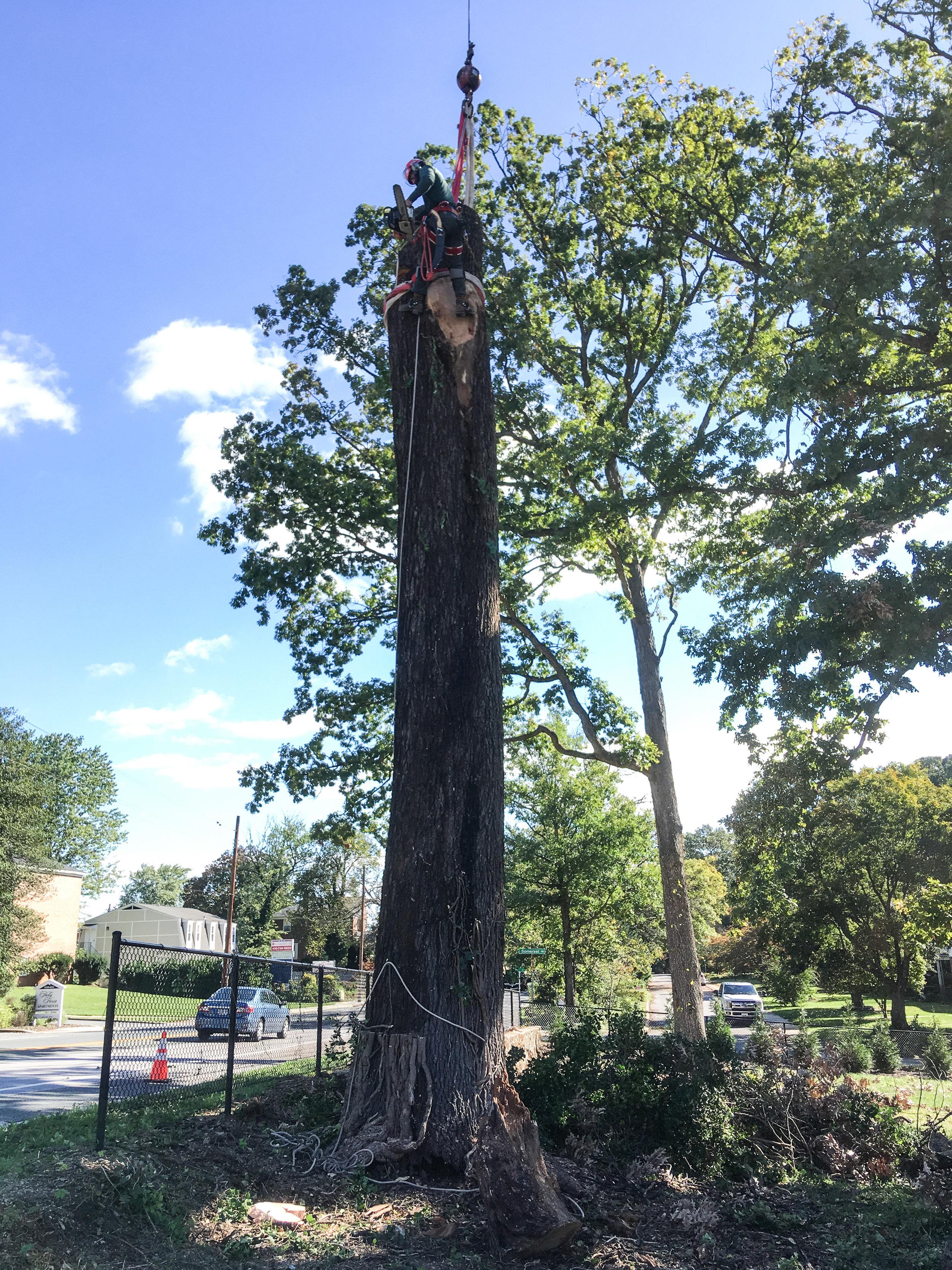 oak removal 6 (catonsville)-1.jpg