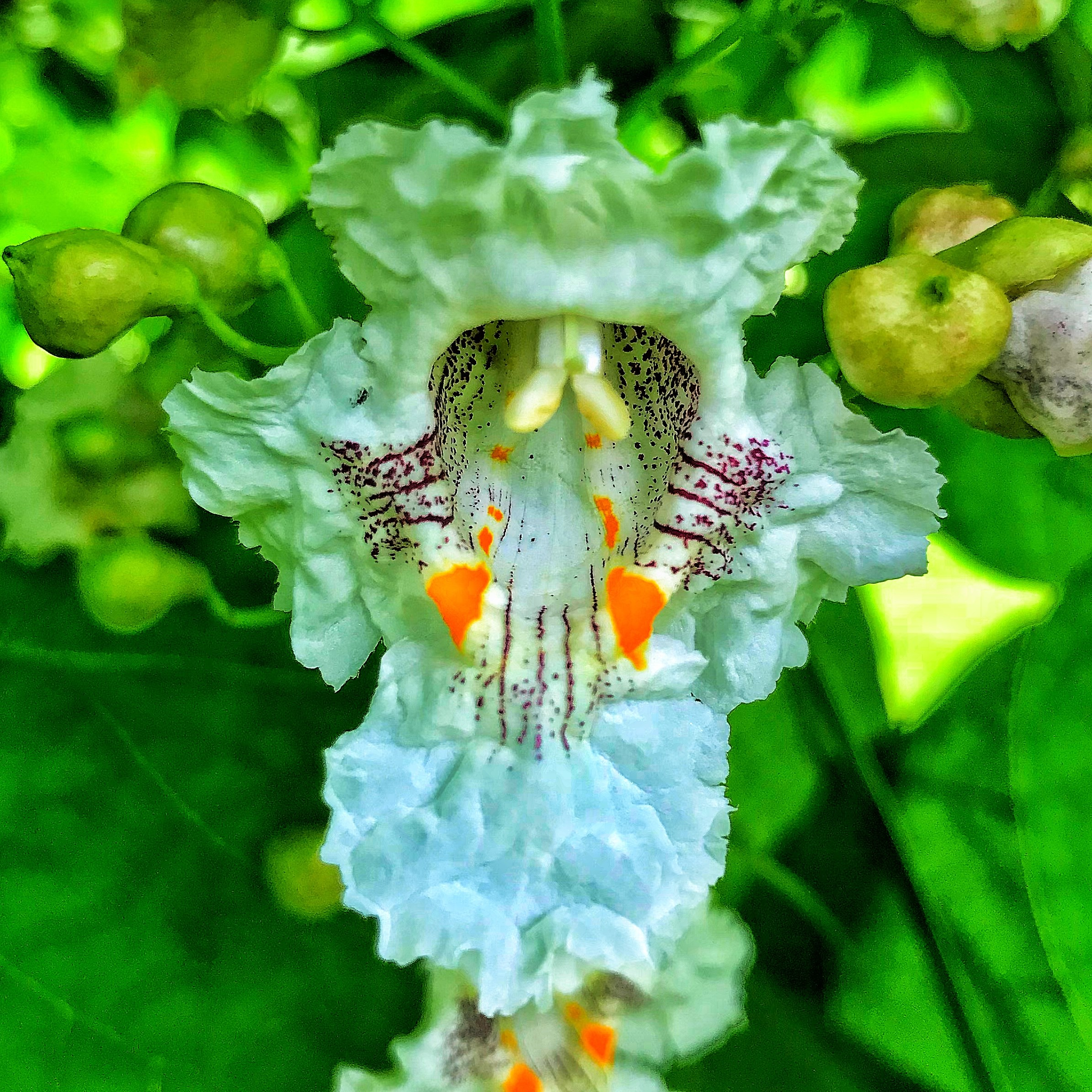 flower of a catalpa tree.jpg