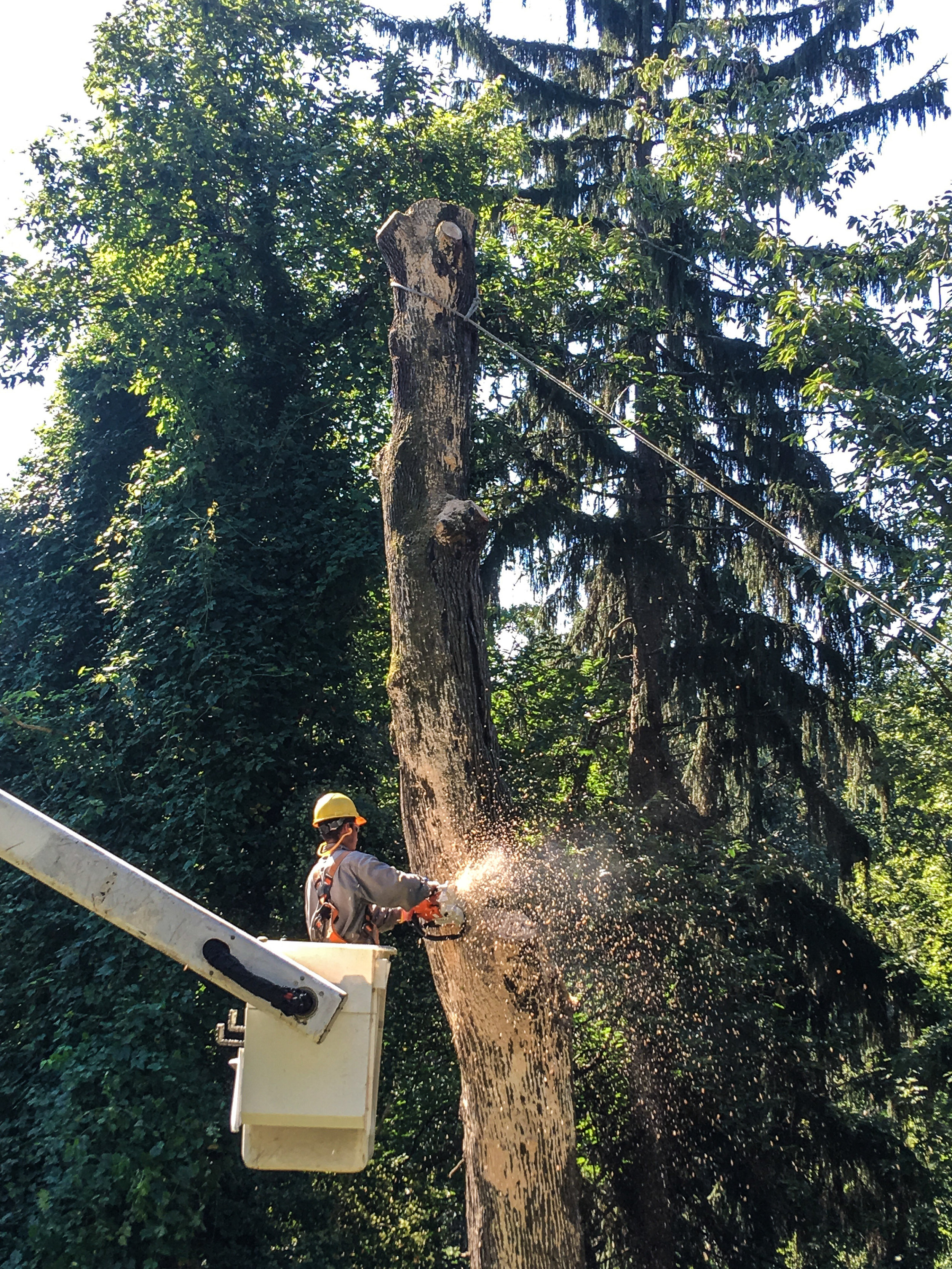 dead maple removal (ruxton)-1.jpg