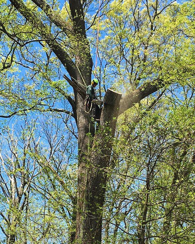Dan repairing a storm damaged red oak (Apr 2019) 📷: Chad • • • • • #redoak #oak #oaktree #tree #trees #treeremoval #treecutting #treework #treeservice #treeexperts #treeclimber #treeclimbing #chainsaw #stormdamaged #repair #repairing #arborist #arboristsofinstagram #owingsmills #baltimore #maryland #carrolltreeservice