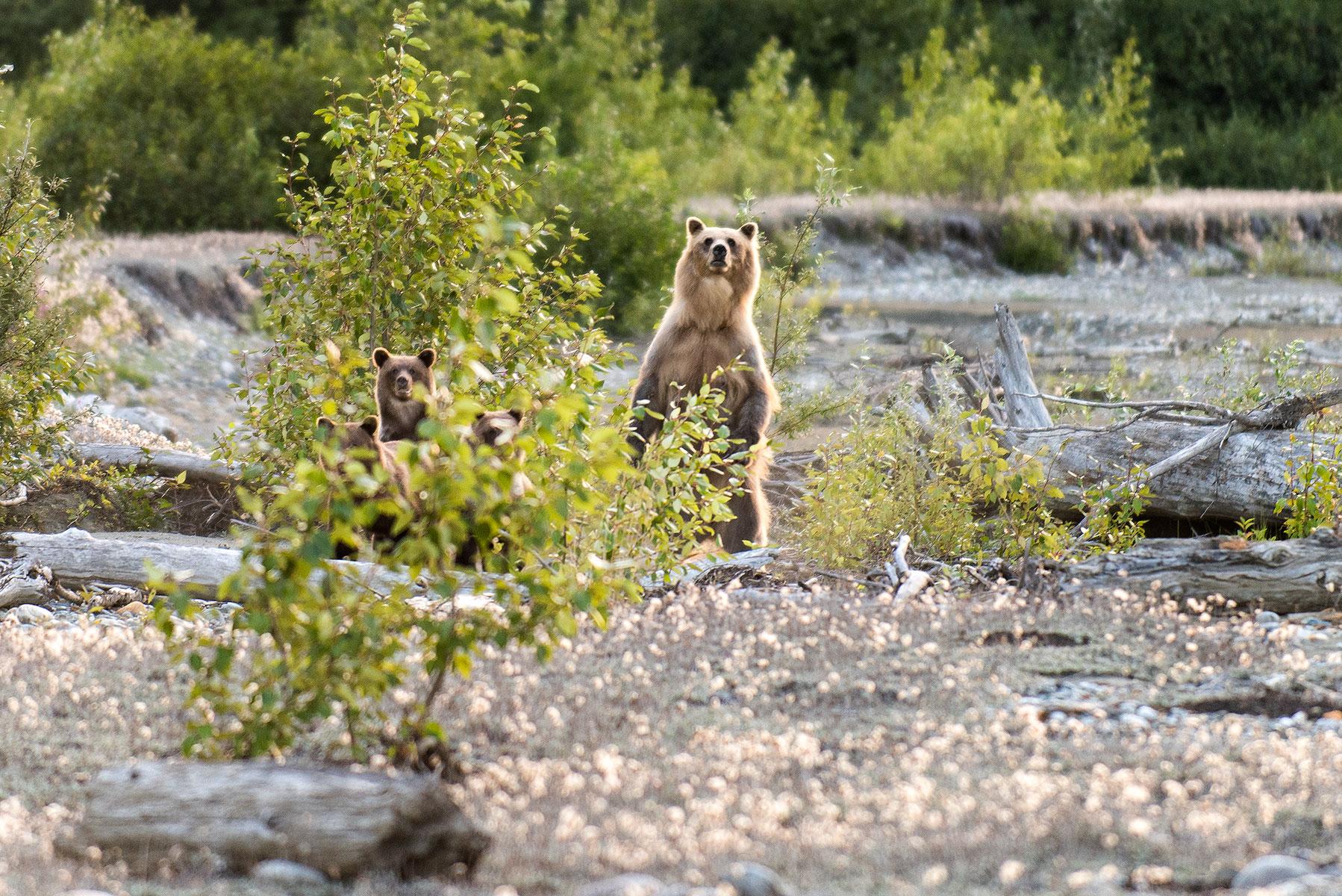 austin-trigg-brave-wilderness-alaska-Brown-Bear-Encounter.jpg