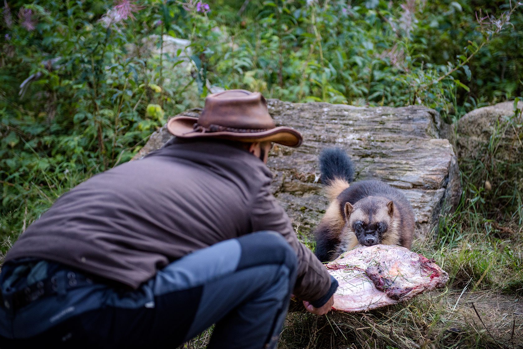austin-trigg-brave-wilderness-alaska-BW-Coyote-Plays-TugOWar-DSC_5169-web.jpg