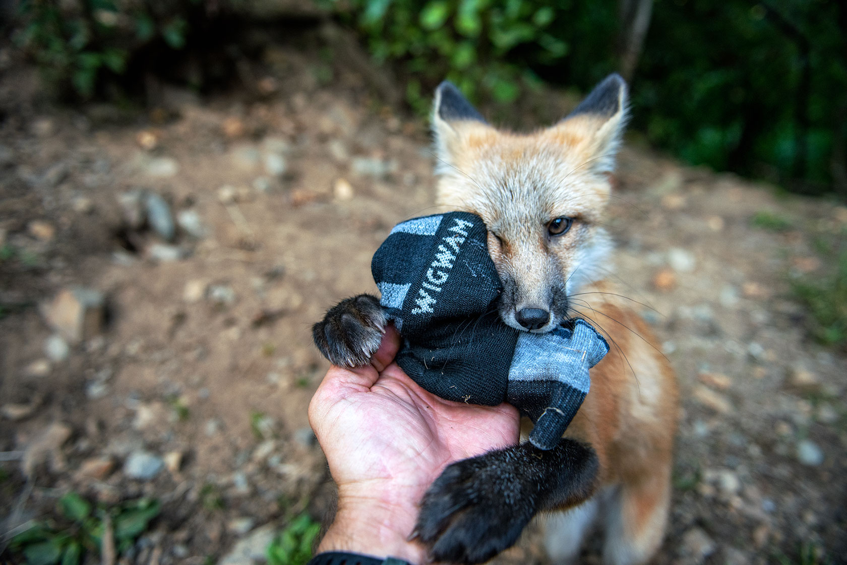austin-trigg-brave-wilderness-alaska-BW-Wigwam-sock-Fox.jpg