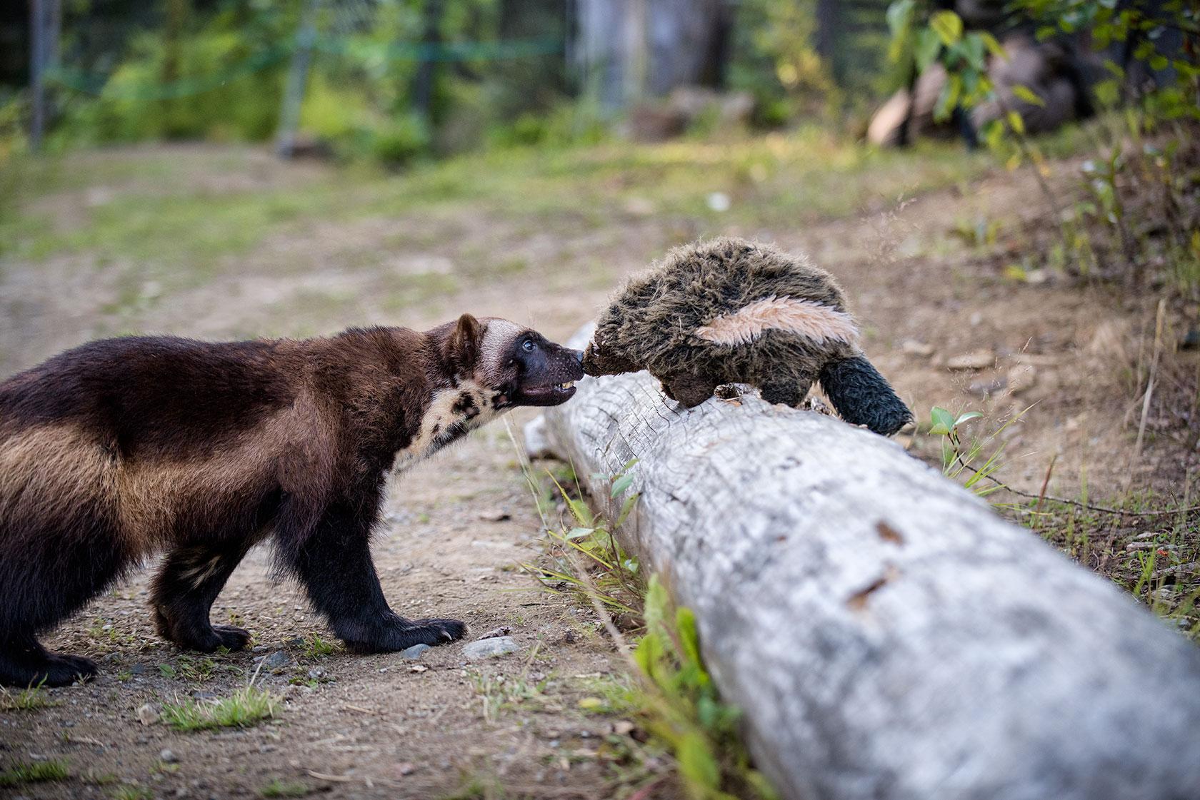 austin-trigg-brave-wilderness-alaska-BW-Wolverine-meets-Wolverine.jpg
