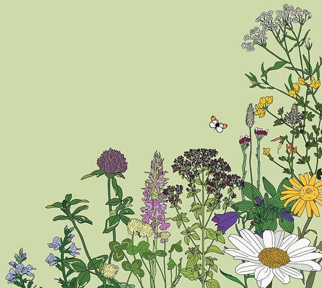Jeg tegner ville vekster for @botaniskforening om dagen 🌼🌾🍃🌷 #illustration #illustrasjon #botanisk #botanical #floralillustration #villevekster #villblomst #blomstereng #flowers