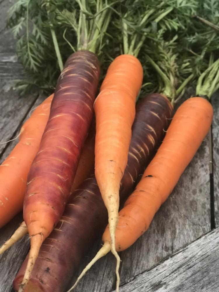 Purple Haze and Bolero storage carrots from Johnny's Select Seeds.