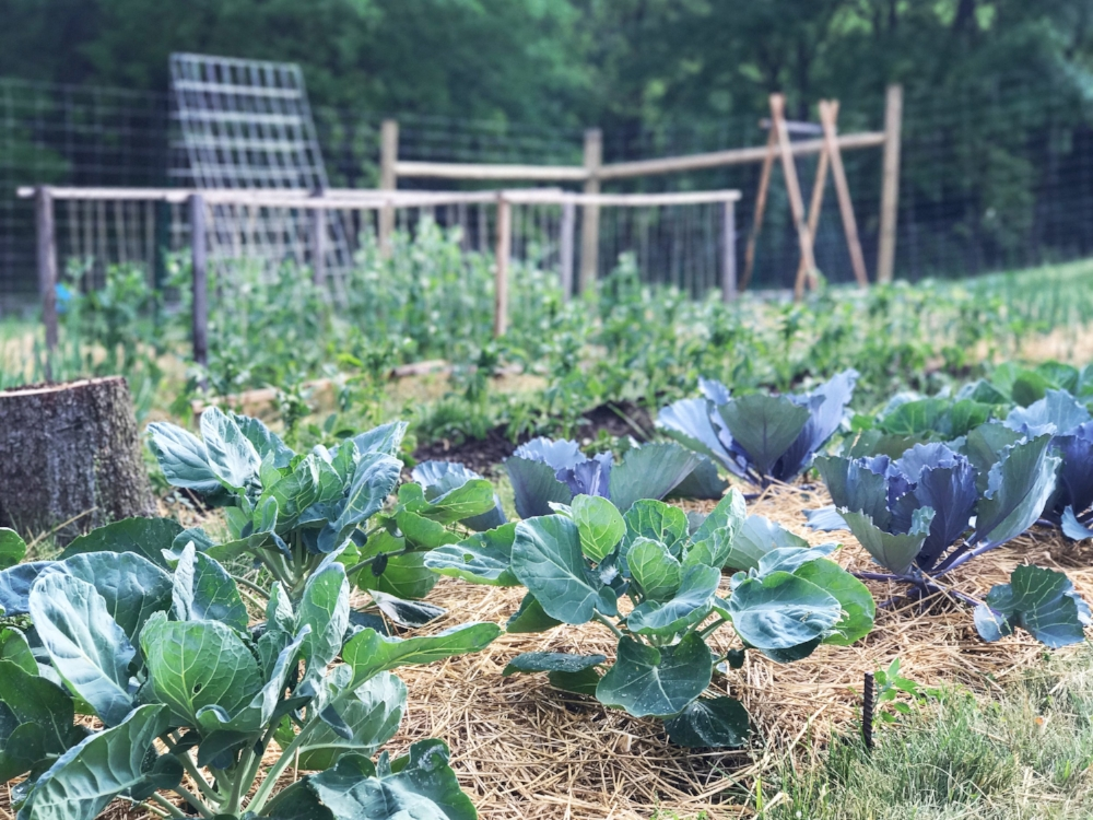 Hestia and Diablo Brussels Sprouts and Integro cabbage. Early summer 2017.