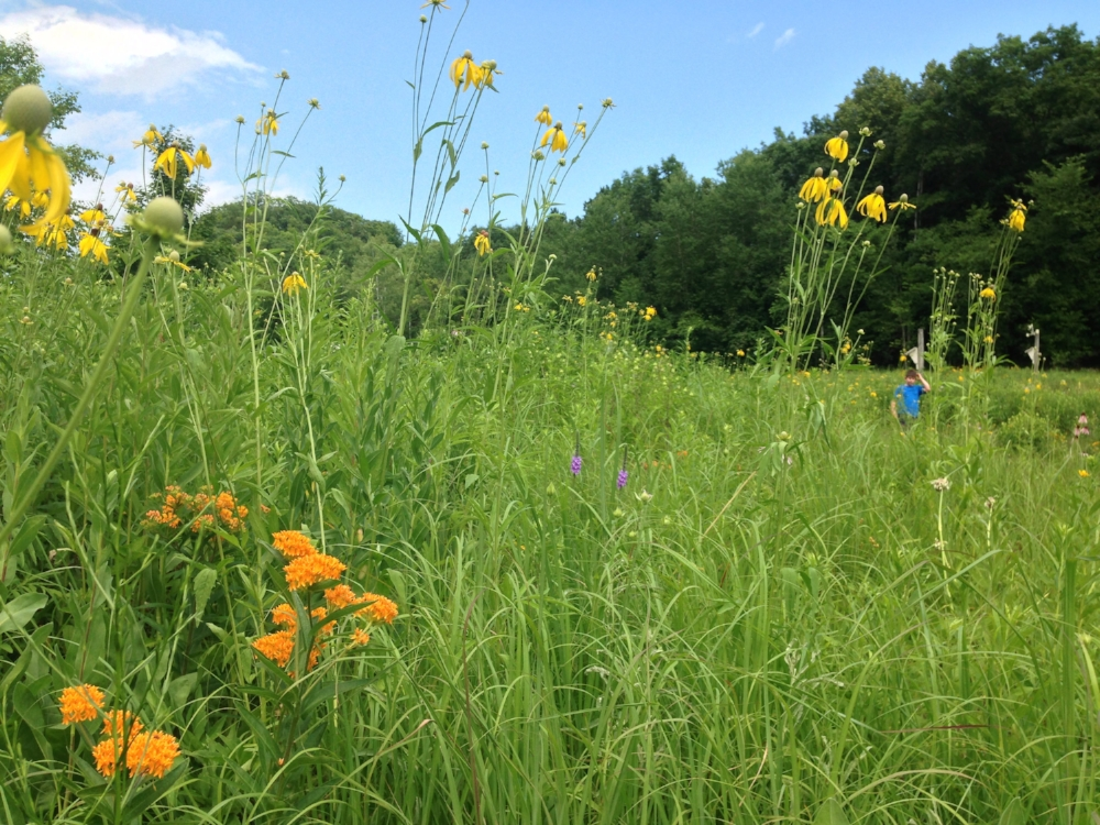 A feast for the eyes was our planted prairies at our 'farm' we once owned on the bluffs of the Mississippi River in Wisconsin. Butterfly weed (orange) in the foreground with grey-headed coneflower (yellow) and a hint of hoary vervain (purple) in the middle of the photo.