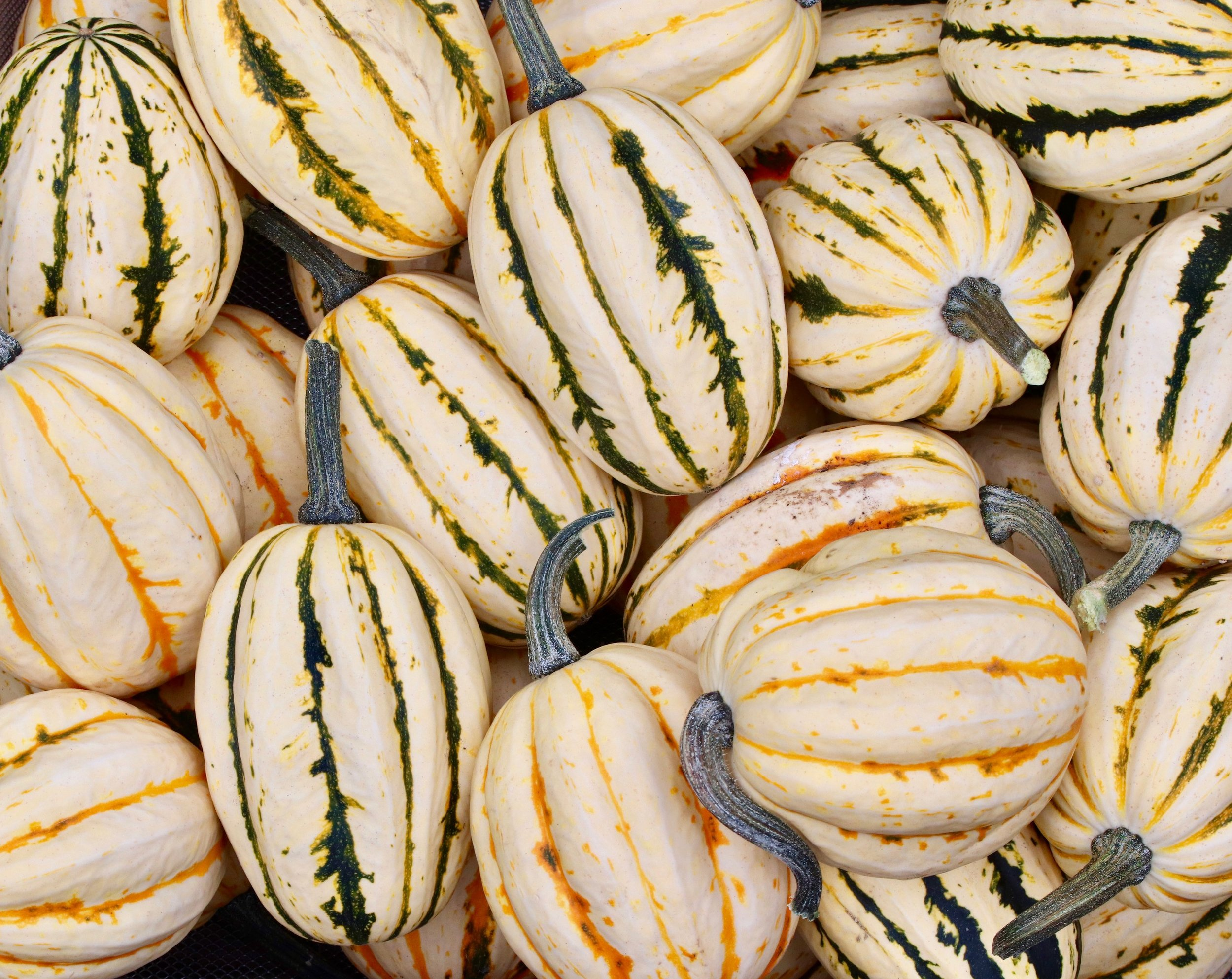 A horticultural anomaly is likely what caused this plant to produce 10 times more winter squash than what we are used to harvesting from one plant.