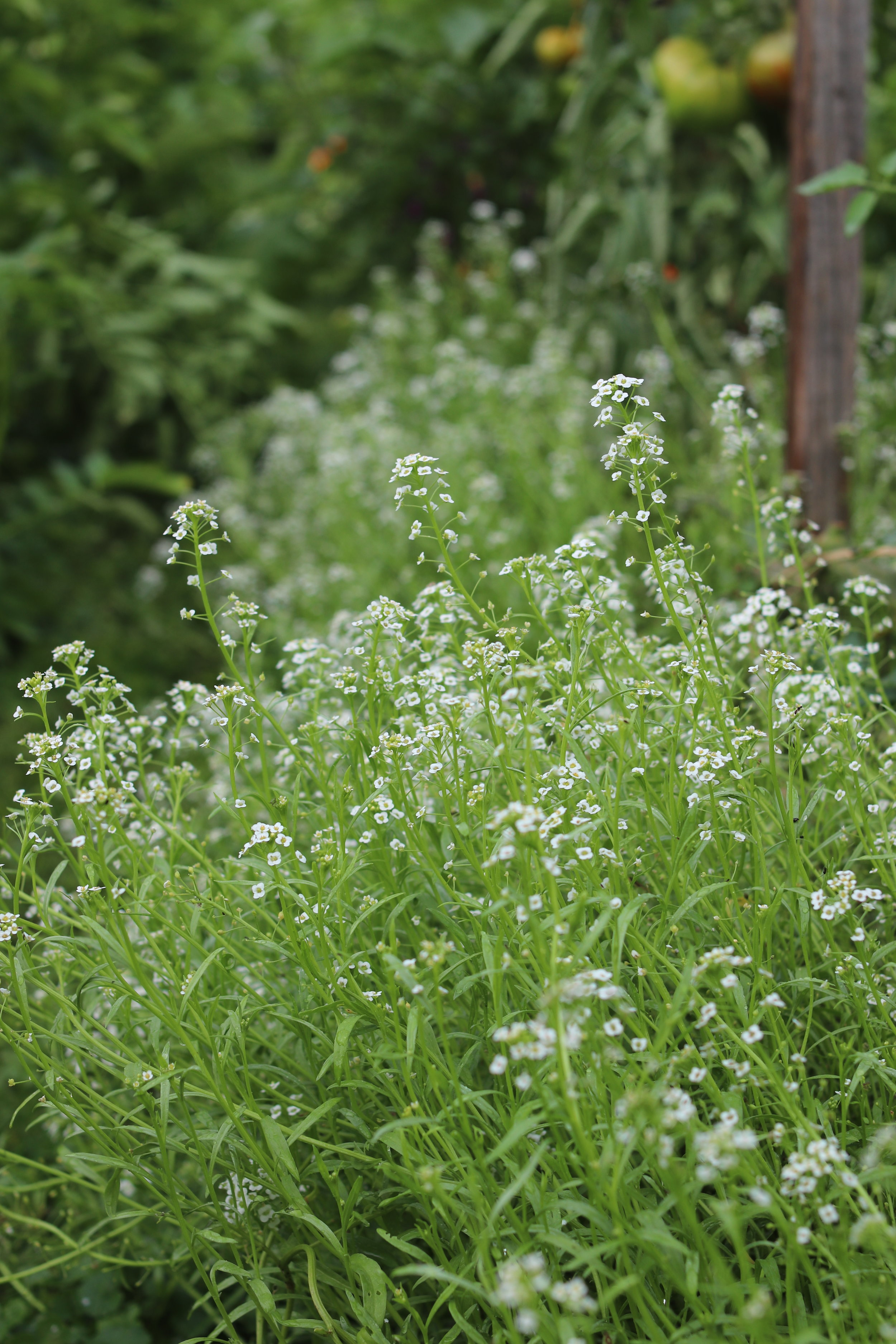My favorite green mulch in the tomato bed is sweet alyssum.