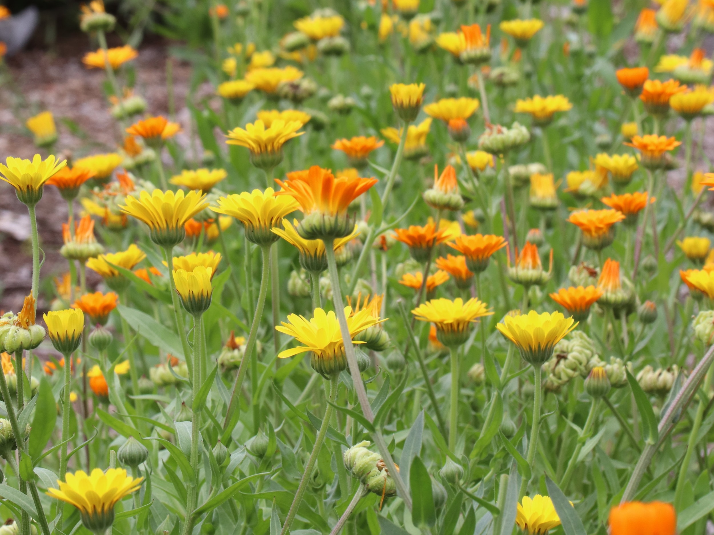 This massing of calendula reseeded the same season, sprouting in the cracks of our driveway. If you don't want to be weeding out calendula, consider giving it a permanent location in your garden as it may behave like a perennial with its prolific self-seeding.