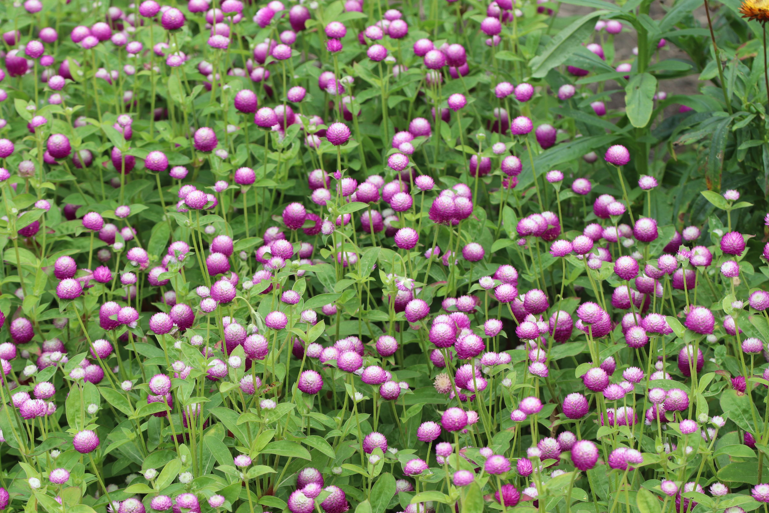 Globe amaranth, gomphrena bicolor rose, planted in a massing in our orchard, was one of the highlights of my flower garden in 2018.