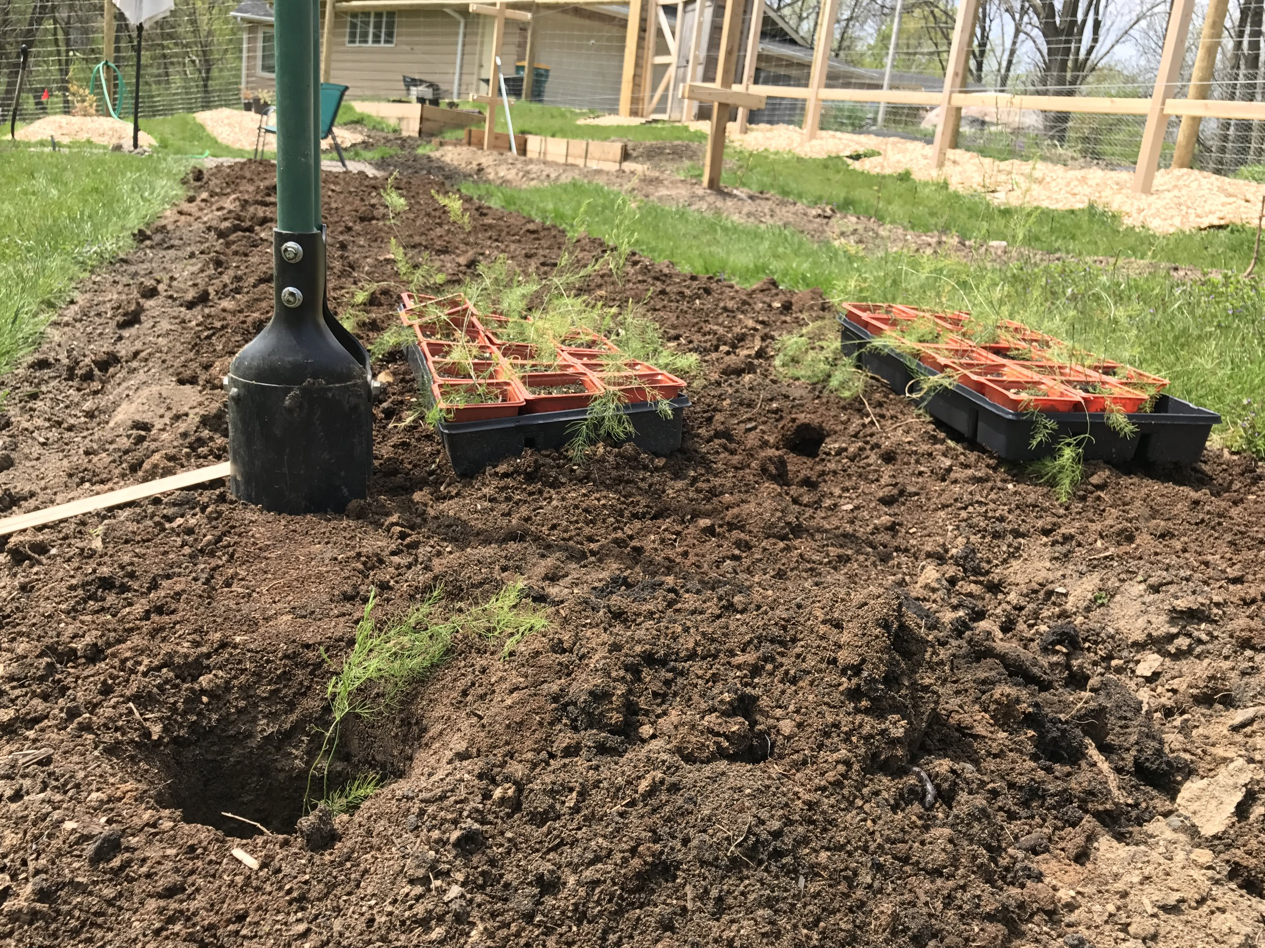 Such a simple method and much less digging than a trench. Transplanting asparagus seedlings is easy, made easier by this post hole digger method we followed after reading about it in  The New Organic Grower .