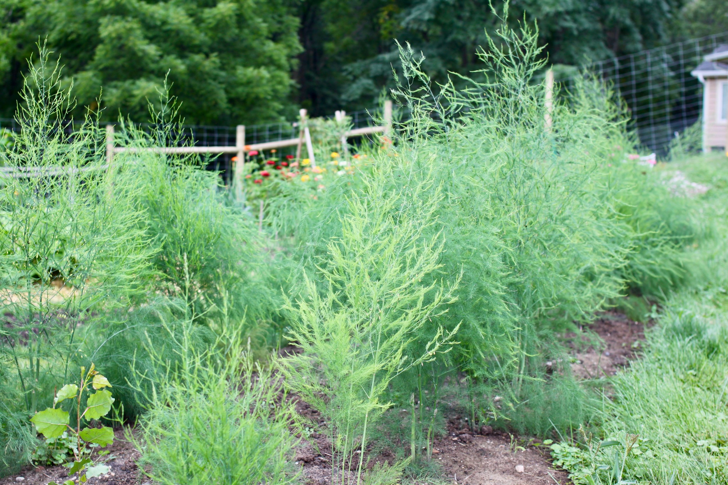 By the end of the first summer and less than a year old, this is what our asparagus patch looked like. All summer long new and thicker spears continued to erupt from the plants, which meant really good things were happening underground with the developing root system.