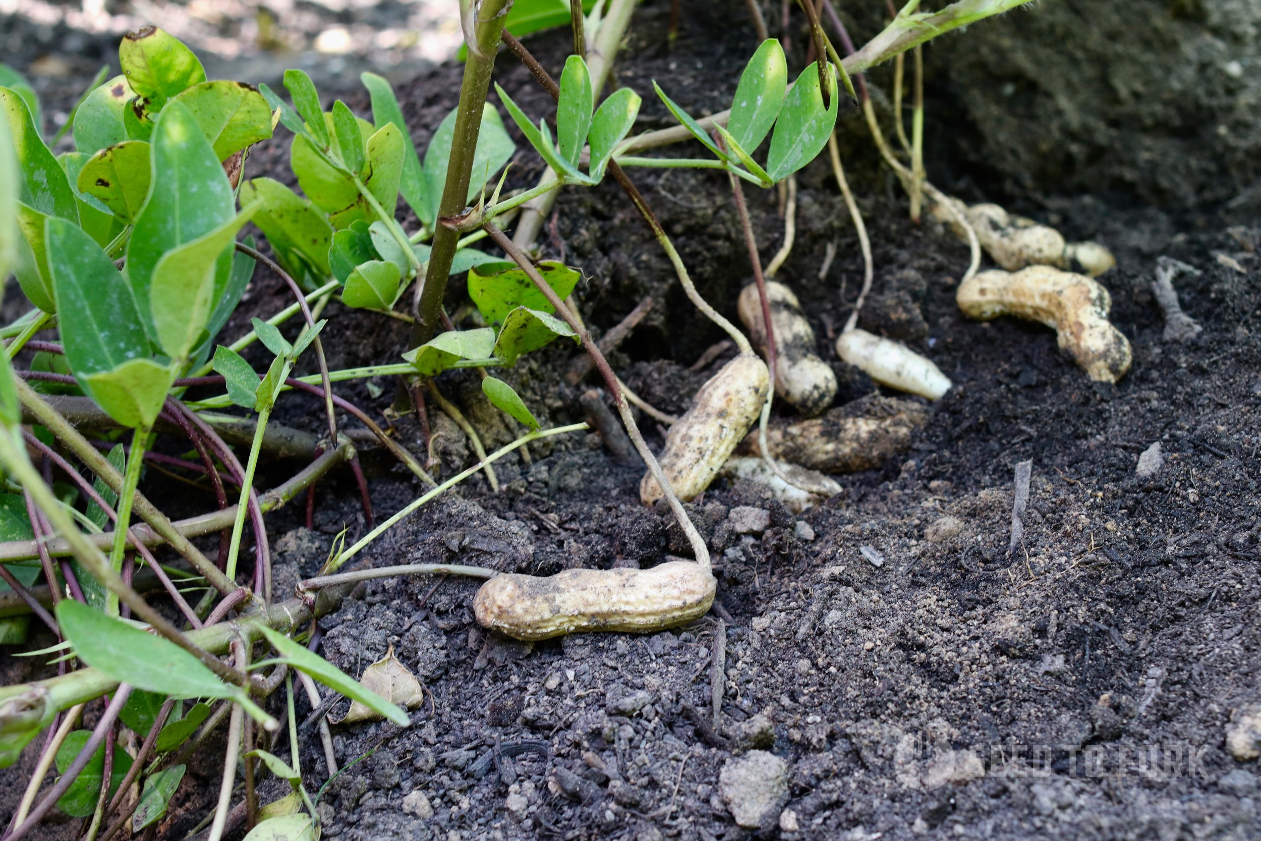 A fun activity is to gently remove some of the light soil that you mounded up around your peanuts earlier in summer to check on the swelling nuts themselves. Here you can really appreciate where peanuts come from!