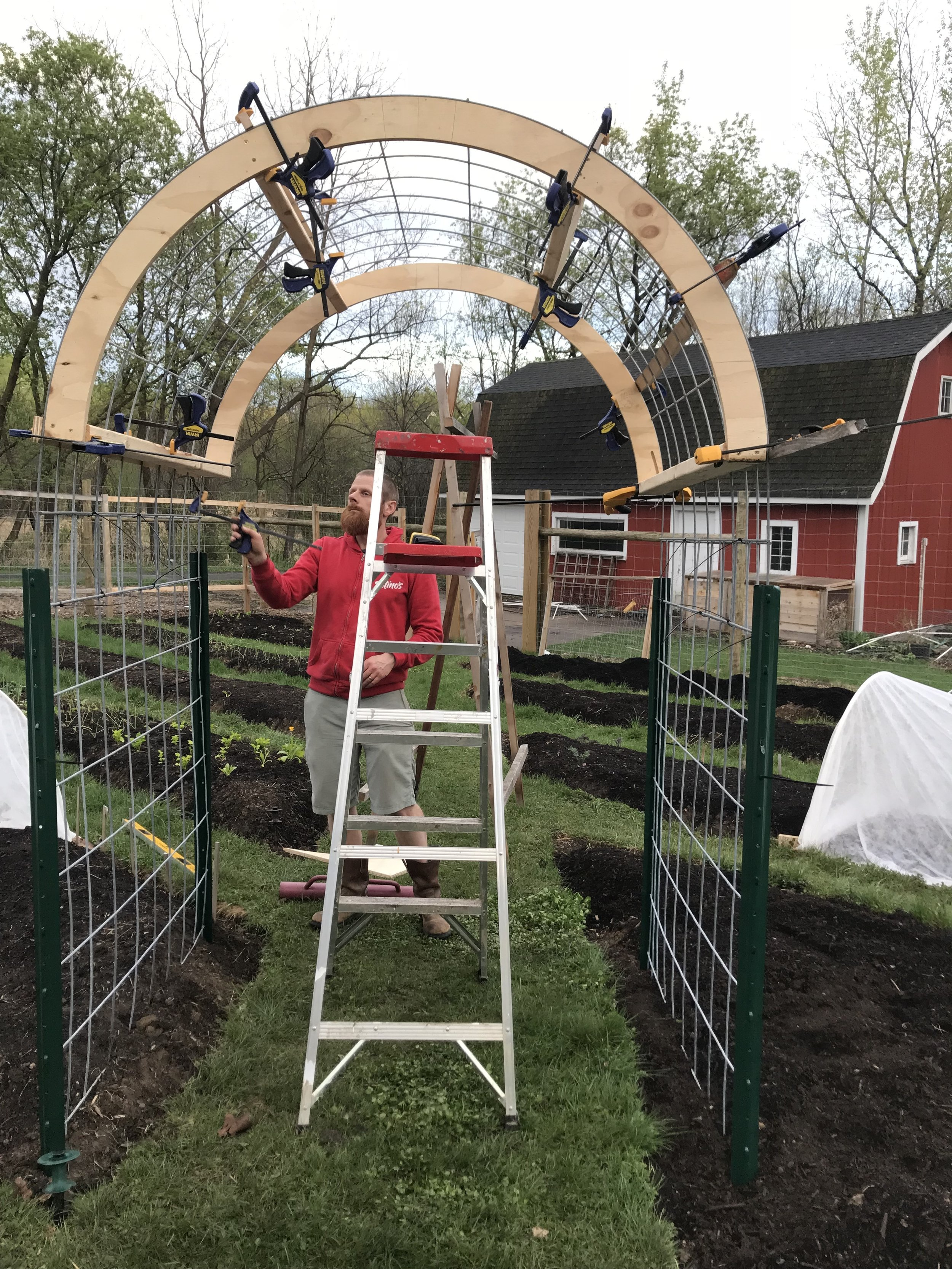 """Here the three panels have been connected, overlapped by a single 8"""" square. We used the ladder to hold the arch up as we tried to figure out what the heck we were doing. We fastened the panels to the U posts and together using zip ties. When we had it all zip tied together, only then did we release the clamps and behold our achievement."""