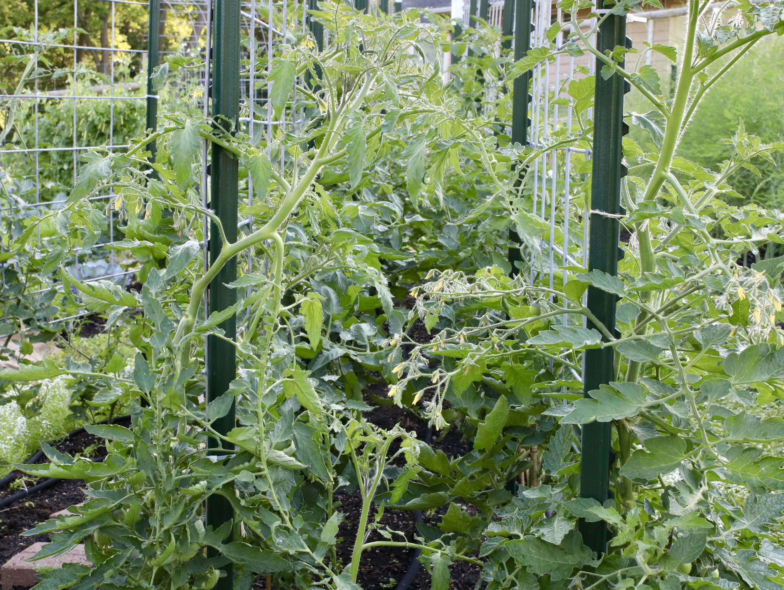 Yeah, so maybe not so tamed, huh? This is a recent photograph between the two back to back rows. I am working to minimize any tomatoes that may set fruit in this now inaccessible tomato alley.