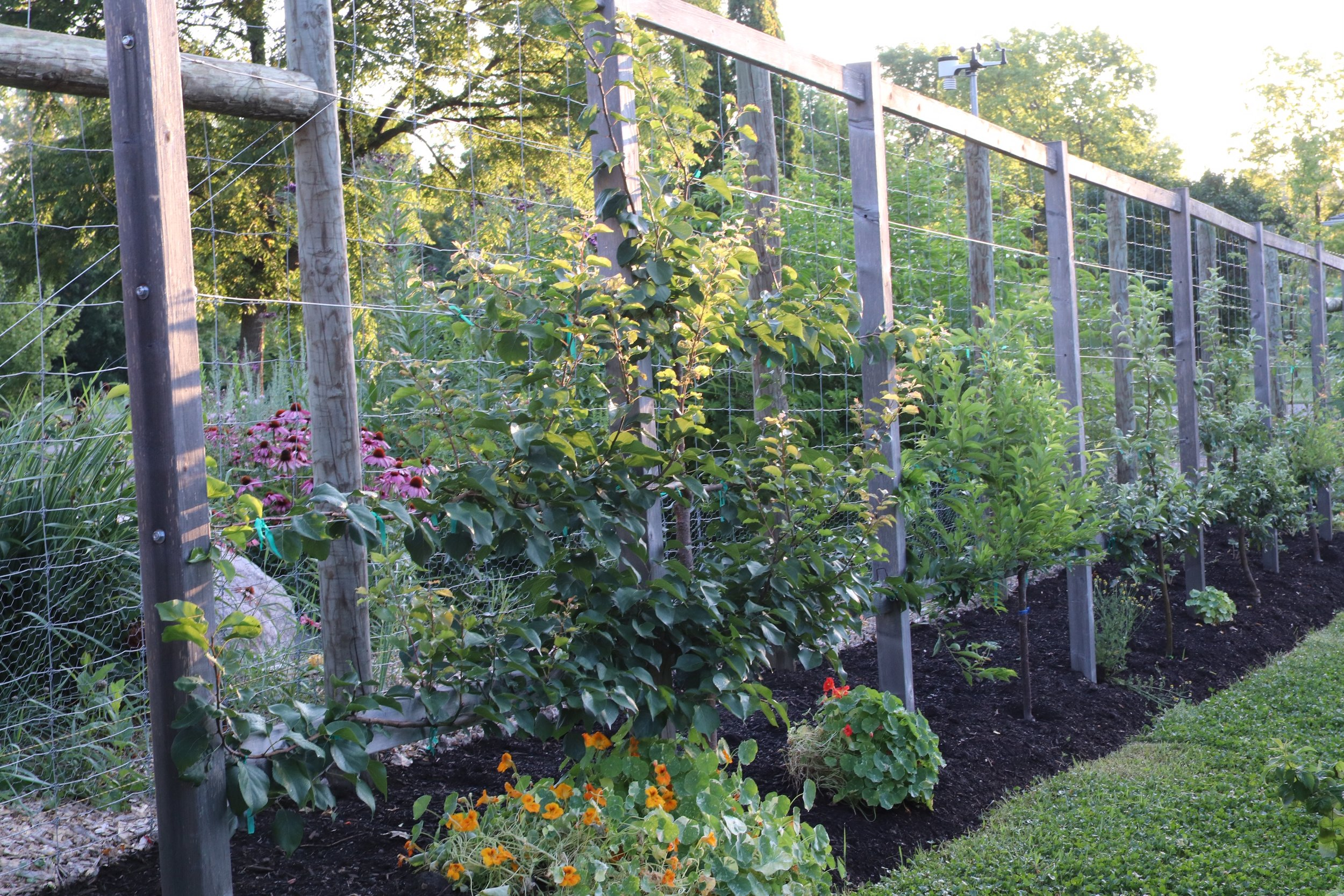 """The espalier orchard fence was set 30"""" from the deer fence to allow access behind it and to prevent the foliage from growing through the fence and thus be prey to curious mouths,. We are able to get a wheelbarrow behind the espalier trellis for compost loads, which is really useful."""