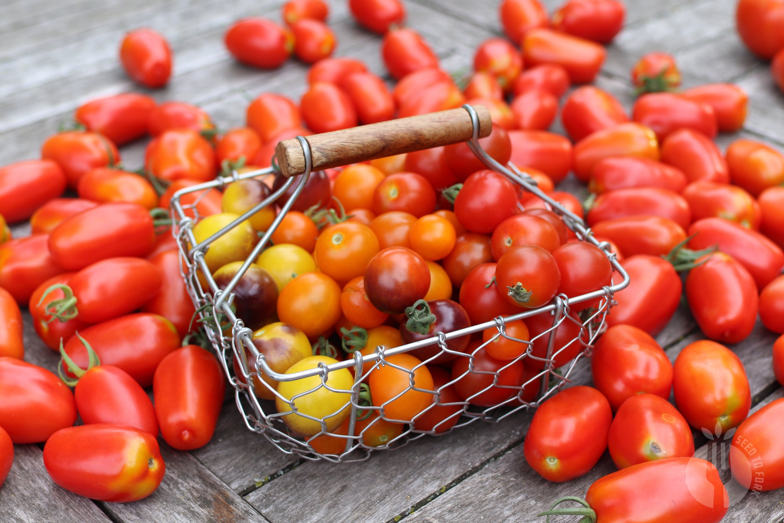 On the upside has been the gained knowledge that smaller tomatoes who ripen faster on the vine don't seem as susceptible to anthracnose as larger tomatoes. And the fact that it hasn't been a total loss of tomatoes despite having this disease this year.
