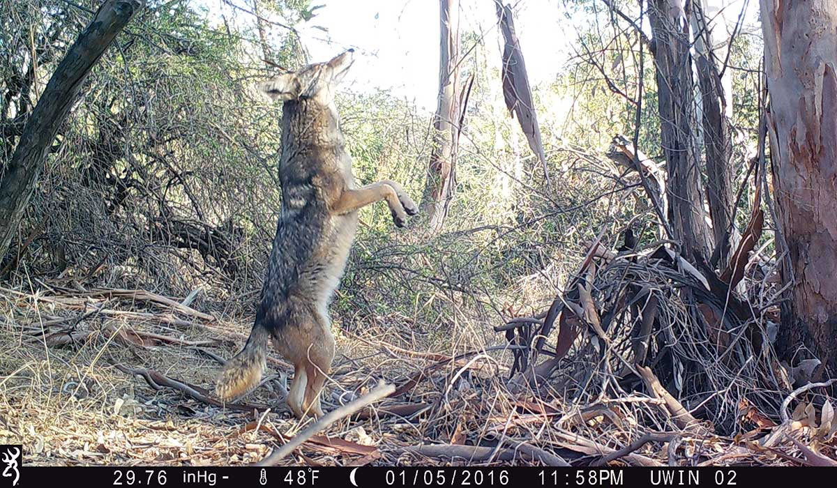 A coyote standing on its hind legs, captured by a new wildlife camera installed by the National Park Service near Silver Lake. | National Park Service