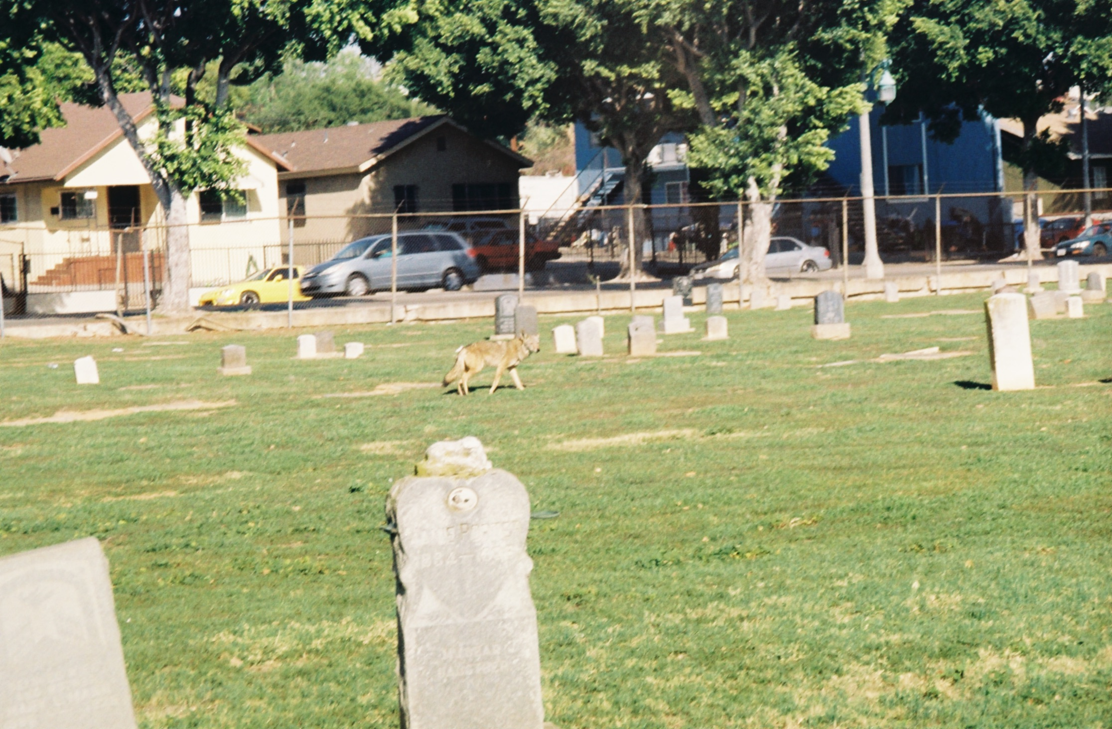 Since the cemetery is surrounded on all sides by busy streets and a flight path is directly overhead, the area where the coyotes dwell is enveloped by a cocoon of white noise, making close encounters all the more possible.
