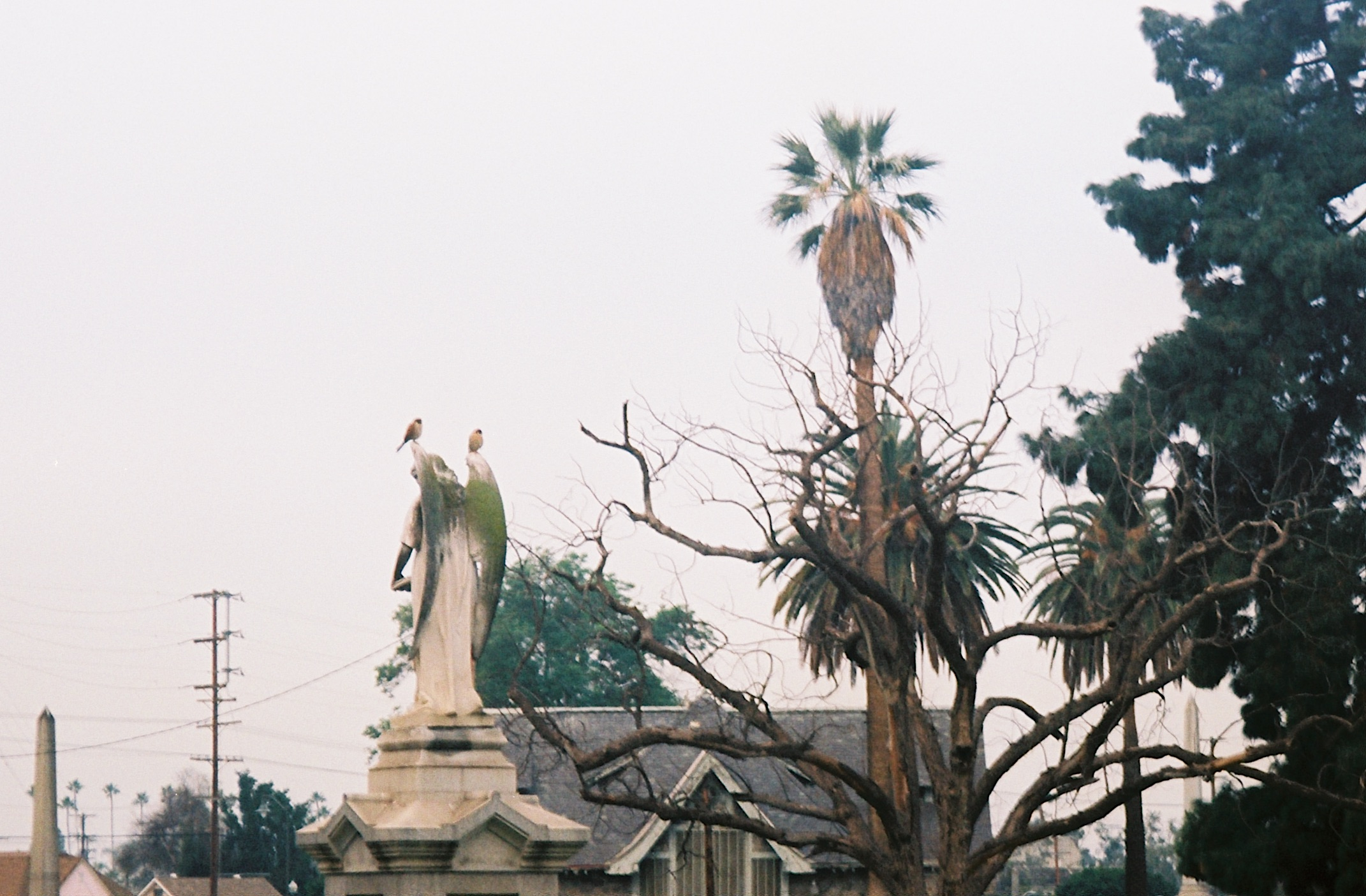 Many birds of prey also find the cemetery to be a rich hunting ground. Pictured above is a Red-tailed Hawk sitting high atop a pine tree, and two American Kestrels, the smallest and most common falcon in North America, perched together on an angel's wings.